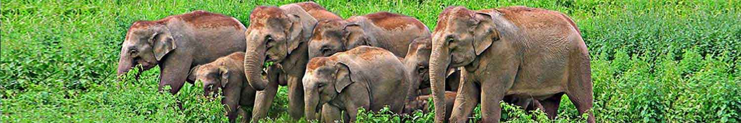 elephants-of-south-india