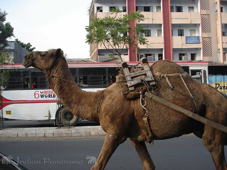 Camel in the city of ahmedabad