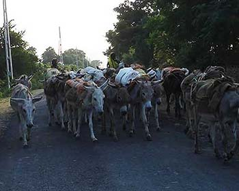 Some Farm Donkeys on the roads of ahemdabad village