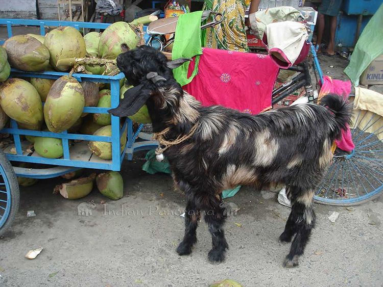 Hungry Goat!