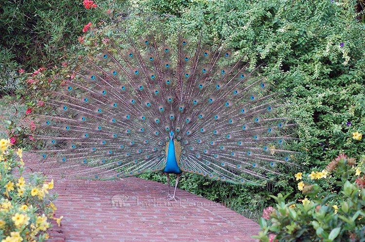 Tamilnadu : Peacock residing at Cardamom House