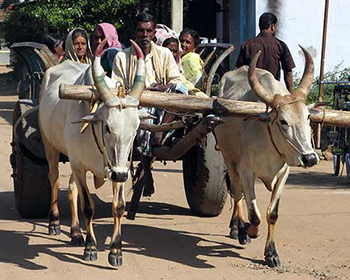 Bullock cart carrying village people, near Cardamom House, Dindigul