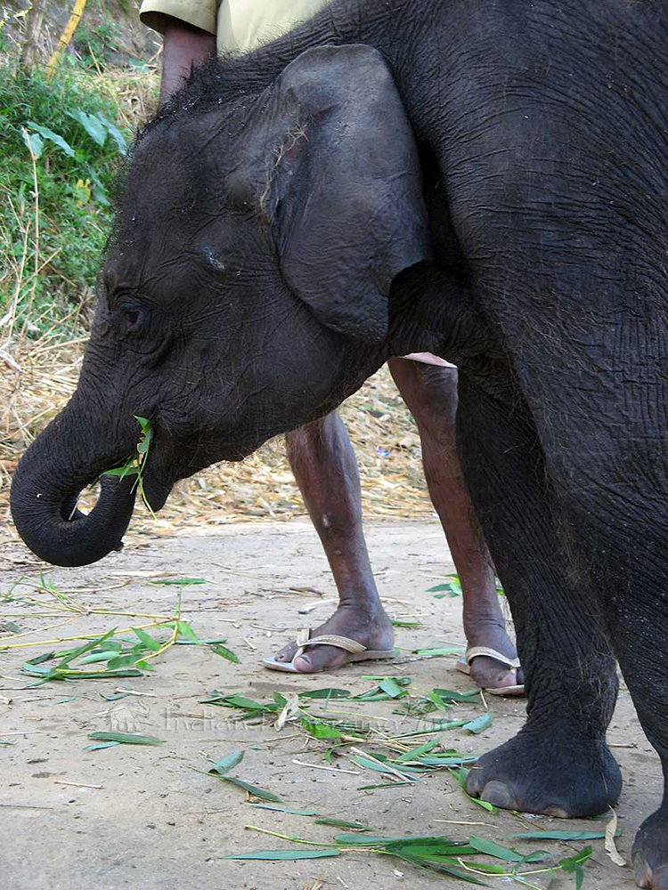 Baby Elephant - 3 Months Old