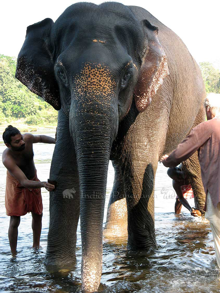 Mother Elephant Ready For Wash