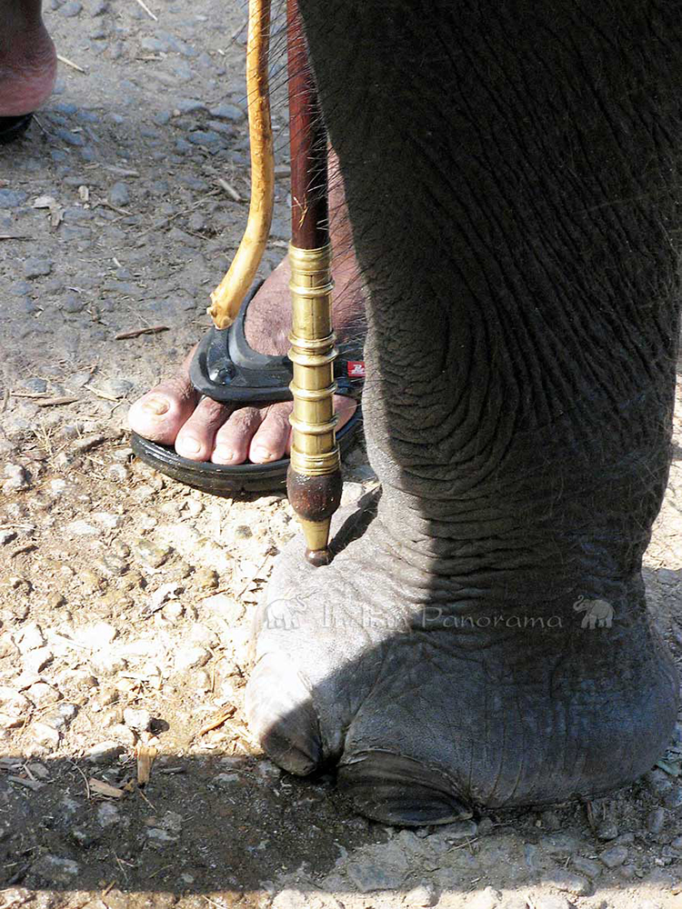 Foots Of Elephant