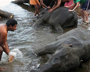 Kodanad Elephant Washing