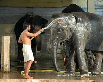 Temple Elephant Washing