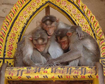 Sleeping Monkeys At Hampi