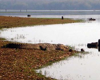 Kabini River Crocodile