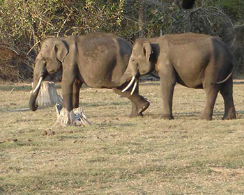 Kabini Lake Elephants