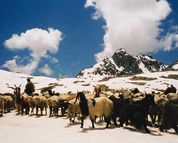 Kashmir Mountain Goats