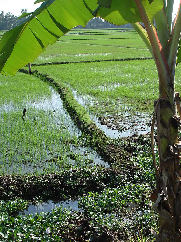 Kerala's Rice Field