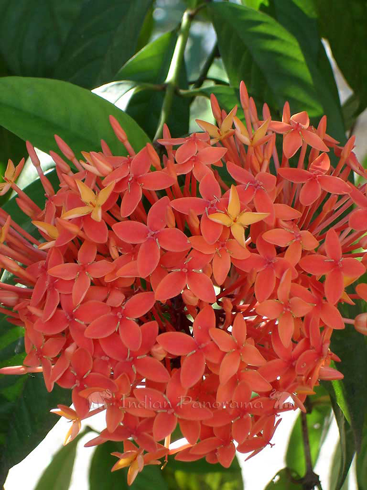 Tropical Flowers Of Backwaters