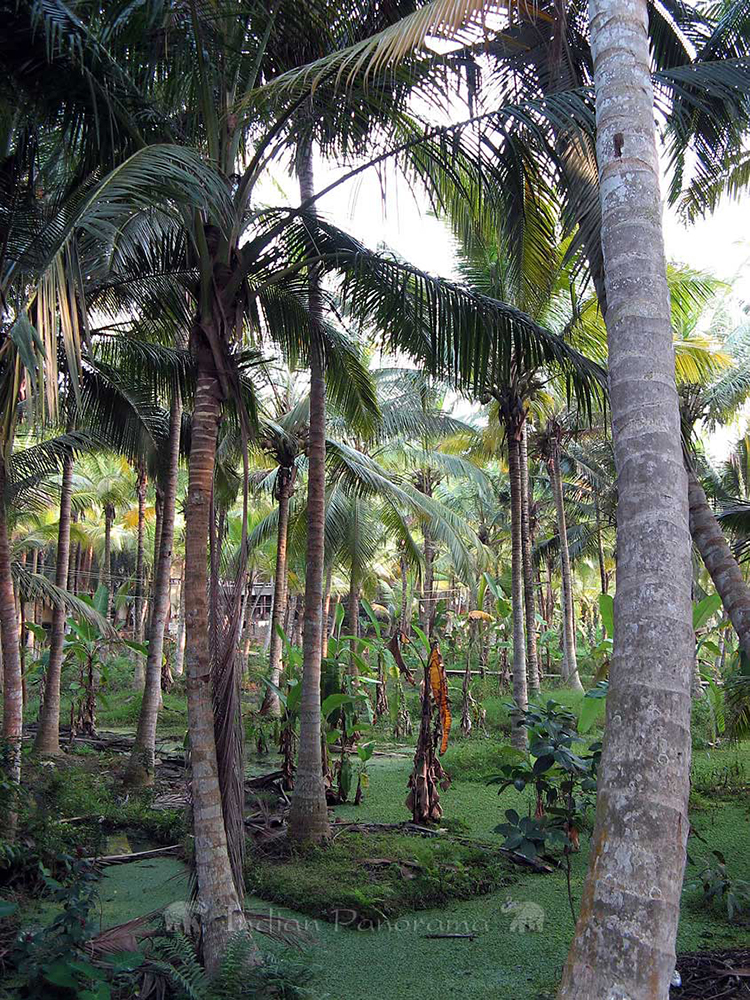 Kovalam Palm Trees