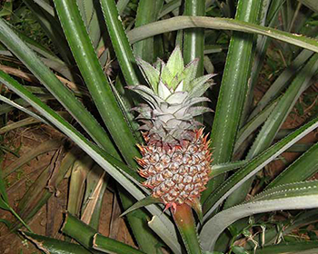 Pineapples At Mundackal