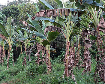 Banana Palms At Mundackal