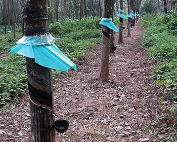 Rubber Trees At Mundackal