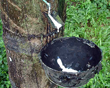 Rubber Tree Tapping