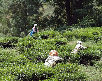 Munnar Tea Plantation Workers