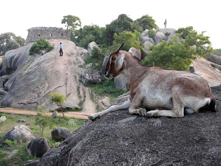 Goat And Temple At Mahabalipuram