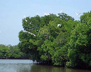 Pichivaram Backwaters and Mangrove Forest- Egrets in Flight