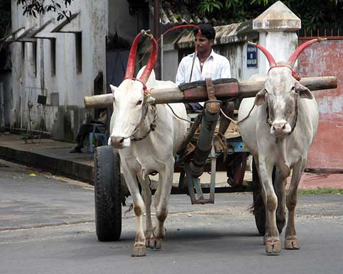 Bullock Cart On The Streets Of Pondicherry