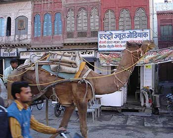 Camel On The Streets Of Bikaner