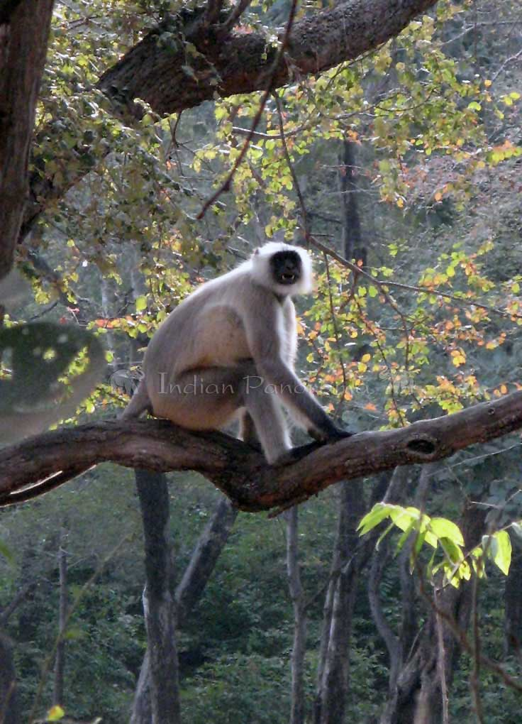 Langur Monkey,Ranthambore National Park