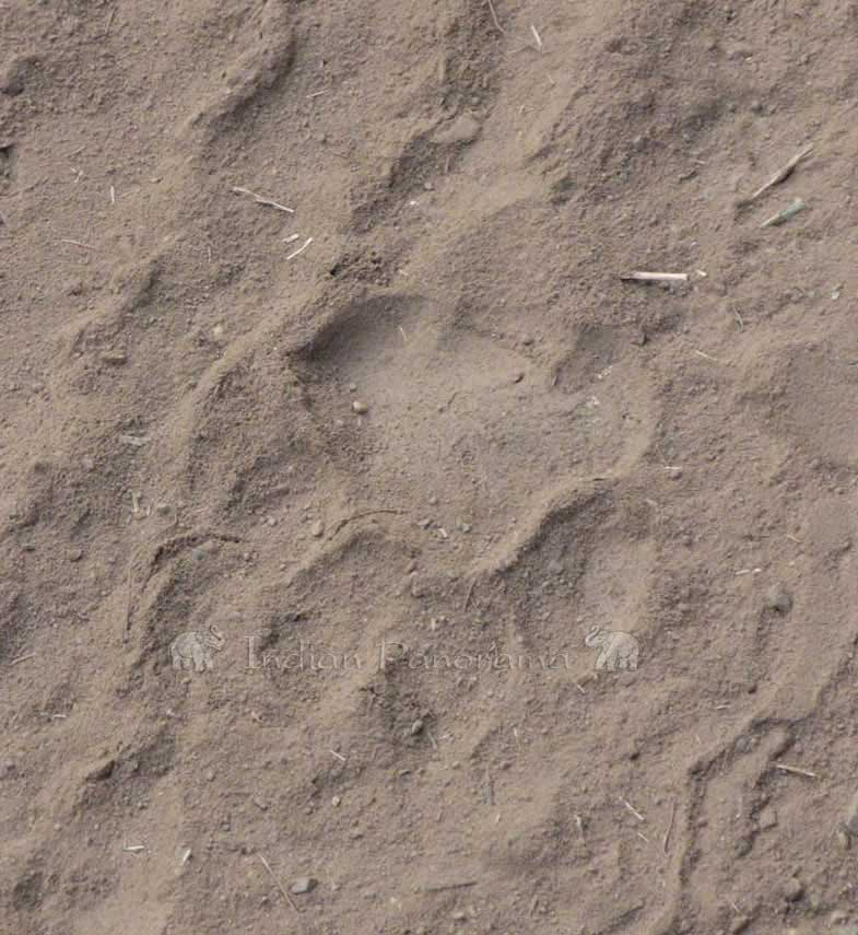 Tiger Footprint, Ranthambore National Park