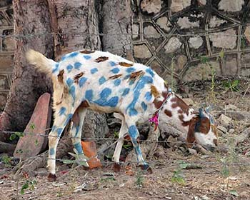 Decorated Goat For Diwali Festival