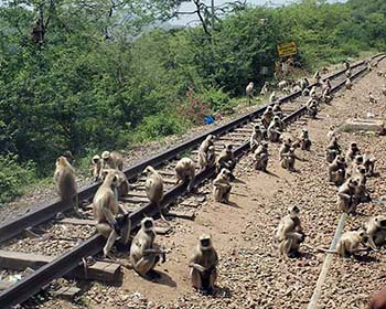Monkeys At Railway Track To Catch The Passing Train