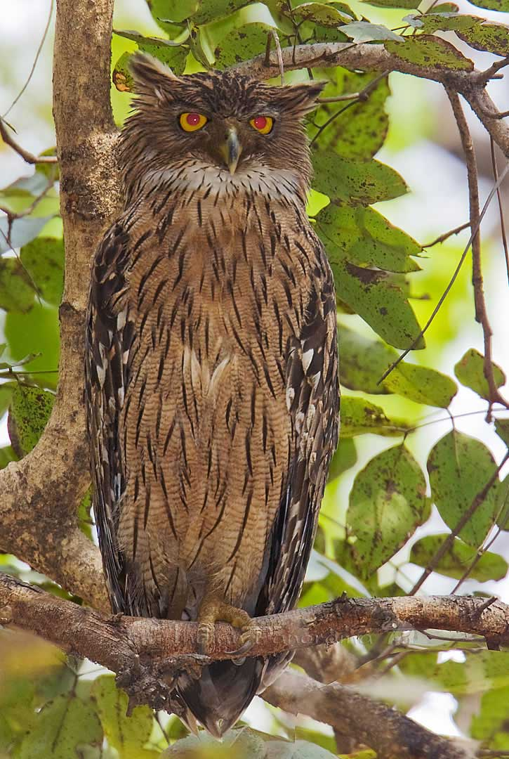 Fish Owl, Bharatpur Bird Sanctuary