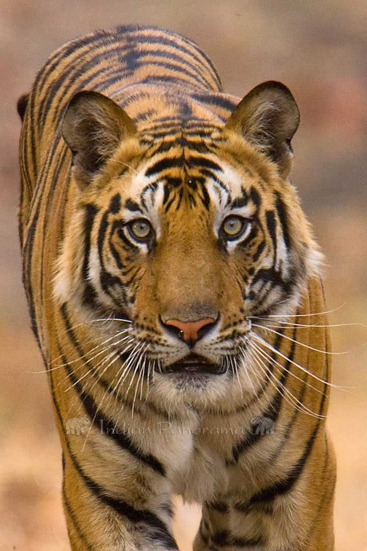 Indian Tiger, Bandhavgarh National Park