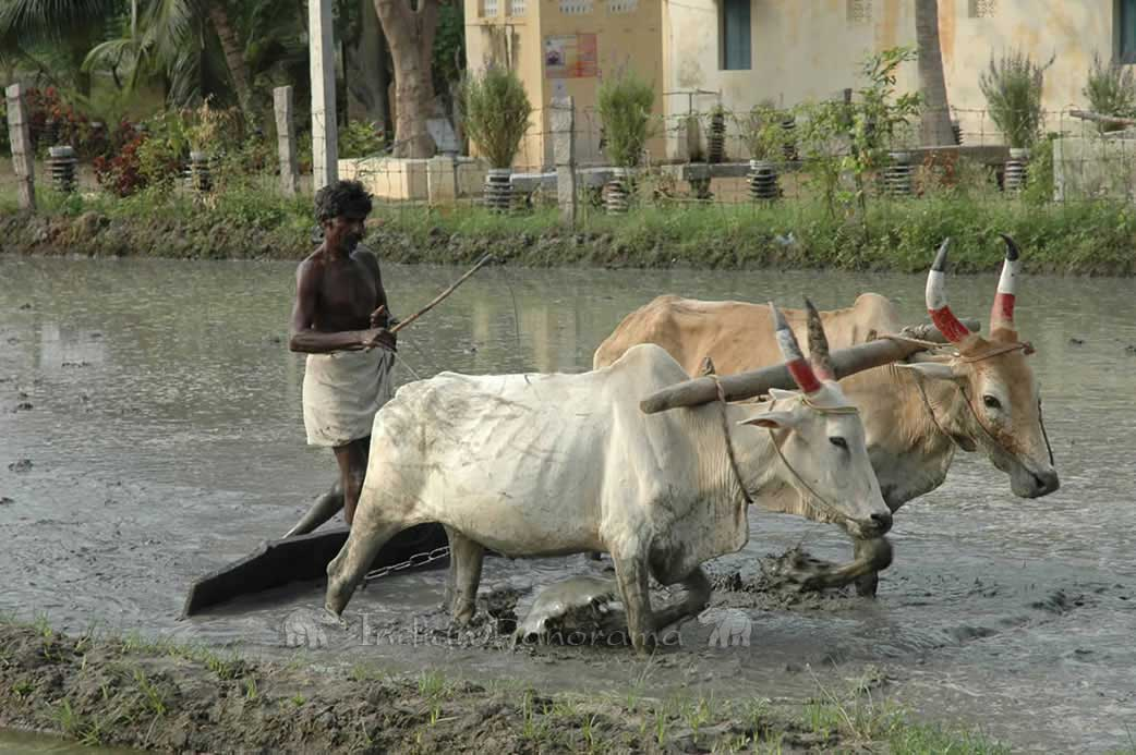 Traditional Bullocks Farming