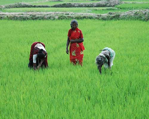 Rice Harvesting In Cauvery Delta