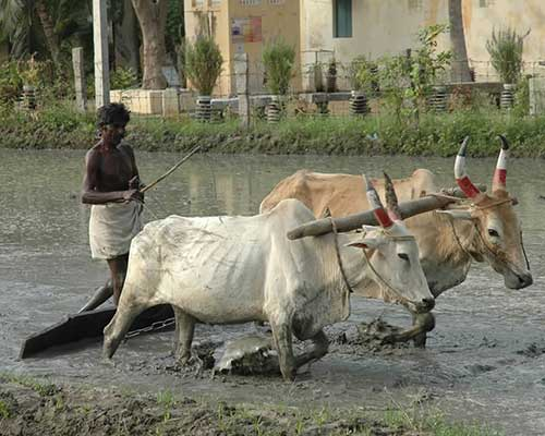 Traditional Farming Using Bullocks