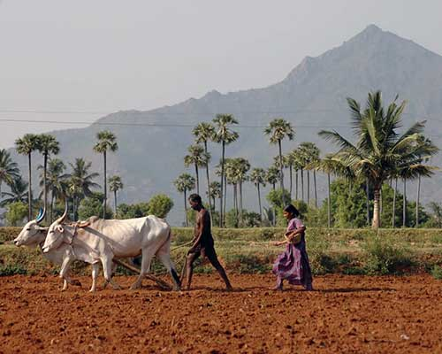 Traditional Ploughing Near Tiruvannamalai