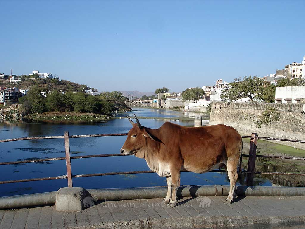 Street cow in Udaipur