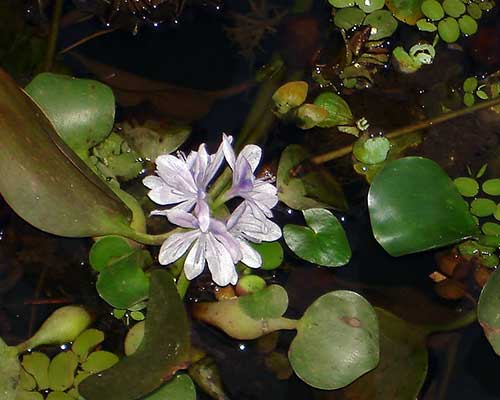 Flora Of India In Backwaters Of Kerala