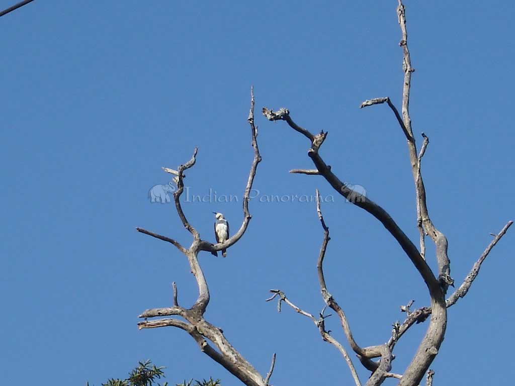 Fishing Eagle At Cicada Resort, Kabini Lake