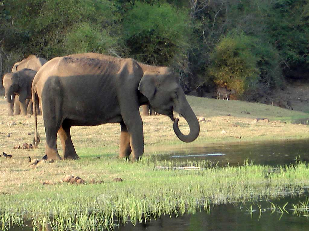Wild Elephants At Cicada Resort, Kabini Lake