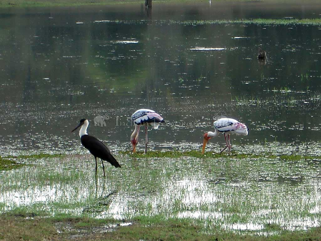 Painted Storks, Kabini River