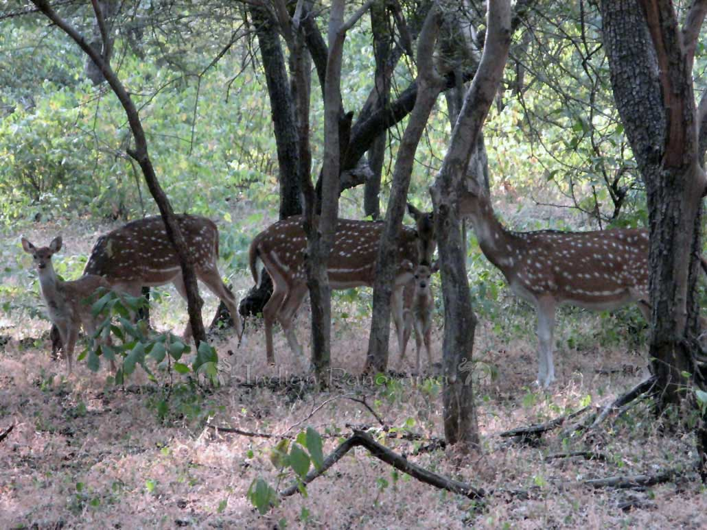 Family Of Spotted Deers at Ranthambore National Park