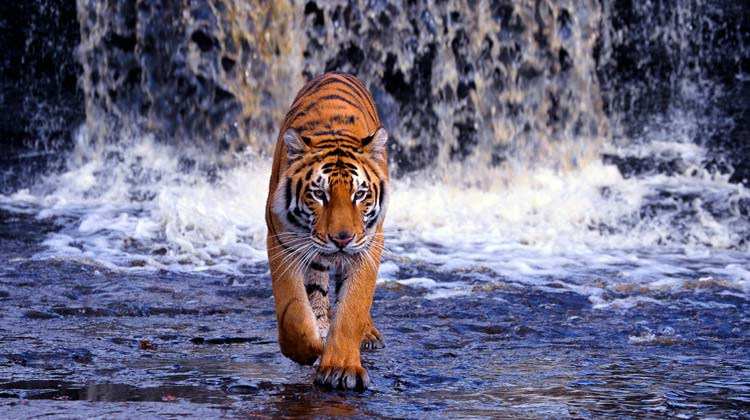tiger-trail-in-india