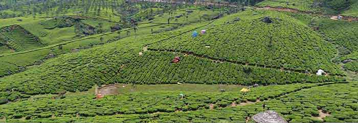 lockhart-tea-plantation-munnar