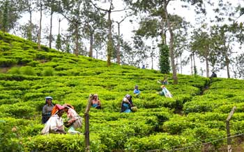 tea-and-spice-plantations