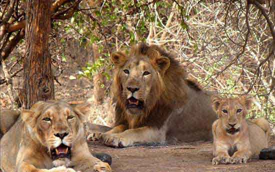 gir-national-park-gujarat