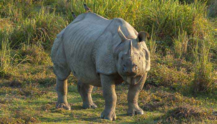 rhinoceros-assam-india