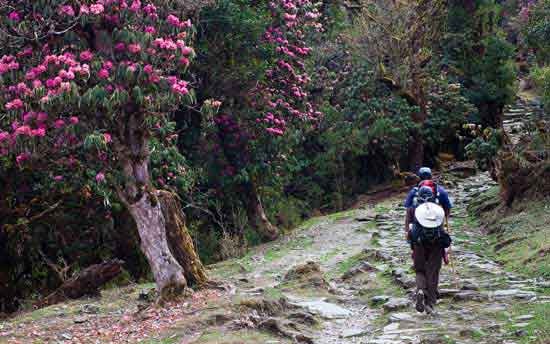 rhododendron-forests-india