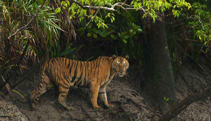 sunderbans-tiger-india